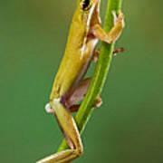 Green Tree Frog Climbing Poster