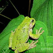 Green Tree Frog Poster
