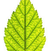 Green Tree Leaf Poster