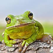 Green Treefrog Poster