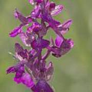 Green-winged Orchid Poster