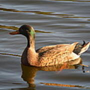 Green Winged Teal Poster