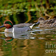 Green-winged Teal Pair Poster
