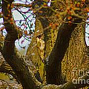 Green Woodpecker Richmond Park Poster
