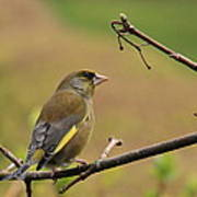 Greenfinch Poster by Peter Skelton