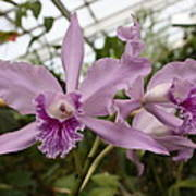 Greenhouse Ruffly Orchids Poster