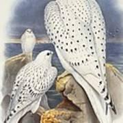 Greenland Falcon Poster