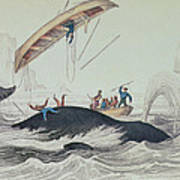 Greenland Whale Book Illustration Engraved By William Home Lizars  Poster