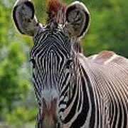 Grevy Zebra Poster
