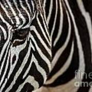 Grevy's Zebra 4 Poster