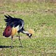 Grey Crowned Crane. The National Bird Of Uganda Poster