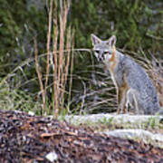 Grey Fox At Rest Poster