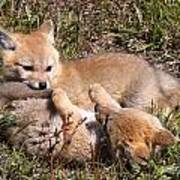 Grey Fox Kitts At Play Poster