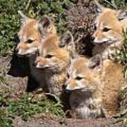 Grey Foxes At Den Poster