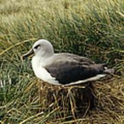 Grey-headed Albatross Nesting Chile Poster