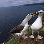 Grey-headed Albatrosses At Nest Site Poster