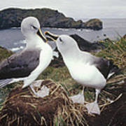 Grey-headed Albatrosses Courting Poster