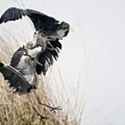 Grey Herons Fighting Poster