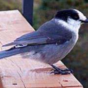 Grey Jay On A Rail Poster