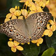 Grey Pansy Butterfly Arizona Poster
