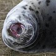 Grey Seal Pup Yawning Poster