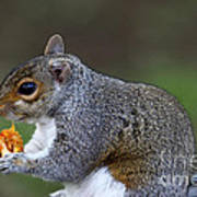 Grey Squirrel Tucking In Poster