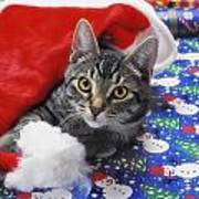 Grey Tabby Cat With Santa Claus Hat Poster