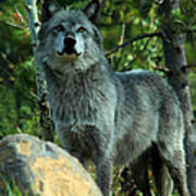 North American Wolf  Poster