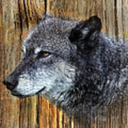 Grey Wolf On Wood Poster