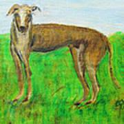 Greyhound Posing Poster