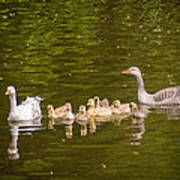 Greylag Goose Family Poster