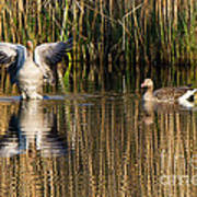 Greylag Goose Family Poster