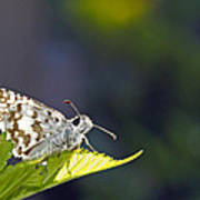 Grizzled Skipper Two Poster