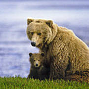 Grizzly Bear And Cub Poster