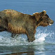 Grizzly Bear Chasing Fish Poster