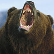 Grizzly Bear Close Up Of Growling Face Poster