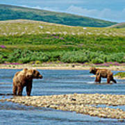 Grizzly Bear Communication In The Moraine River In Katmai  Np-ak Poster