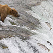 Grizzly Bear Fishing For Sockeye Salmon Poster