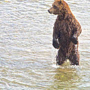 Grizzly Bear Standing To Get A Better Look In The Moraine River In Katmai Poster