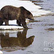 Grizzly Bear Stepping Into Water Poster by Mike Cavaroc