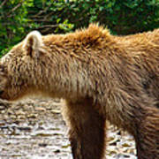 Grizzly Bear Very Close In Moraine River In Katmai National Preserve-ak Poster