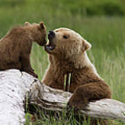 Grizzly Bear With Cub Playing Poster