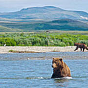Grizzly Bears In Moraine River In Katmai National Preserve-ak Poster