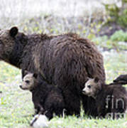 Grizzly Family Portrait Poster