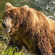 Grizzly On The River Bank Poster