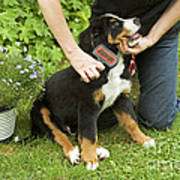 Grooming Bernese Mountain Puppy Poster