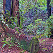 Ground Level Landscape In Armstrong Redwoods State Preserve Near Guerneville-ca Poster
