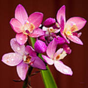 Ground Orchid Poster