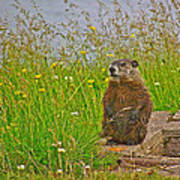 Groundhog At Point Amour In Labrador Poster