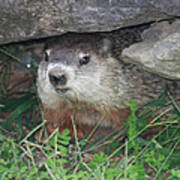 Groundhog Hiding In His Cave Poster